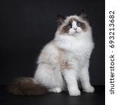 Stock photo young adult ragdoll cat sitting sideways isolated on black background 693213682