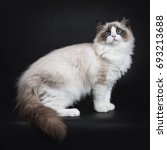 Stock photo young adult ragdoll cat standing sideways isolated on black background 693213688