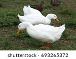 Two White Ducks Searching For...