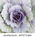 Close Up Of Decorative Cabbage...