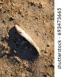 dead fish on the sand in the... | Shutterstock . vector #693473665