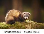 Sable Ferret Posing On Moss...