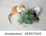 Stock photo cat near overturned house plant on light carpet 693527632