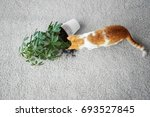 cat near overturned house plant ... | Shutterstock . vector #693527845