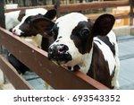 head of cute little black and... | Shutterstock . vector #693543352