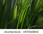 leaves of grass shine in the sun   Shutterstock . vector #693560842