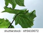 papaya leaves | Shutterstock . vector #693610072