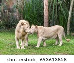 white lions couple nuzzling... | Shutterstock . vector #693613858