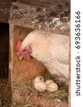 a hen laying eggs in its nest | Shutterstock . vector #693636166