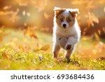 dog  australian shepherd puppy... | Shutterstock . vector #693684436