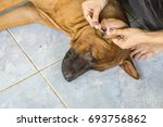 female hand cleaning ear of dog ... | Shutterstock . vector #693756862