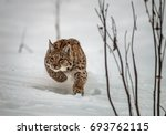 Hunting Carpathian Lynx  Lynx...