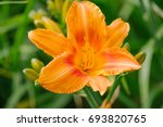 Orange Hemerocallis Blooming...