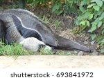 anteater | Shutterstock . vector #693841972