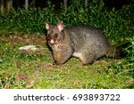 Brushtail Possum Standing On...