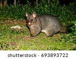 Brushtail Possum Standing On...