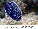 Pomacanthus Navarchus Blue...