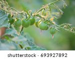 Small  Green Tomatoes Are...
