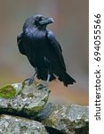 Raven With Open Beak Sitting O...