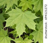 Small photo of Norway Maple leaf, (Acer platanoides), Eifel, Germany.