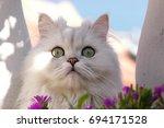 Chinchilla Cat  Behind Purple ...