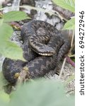 Small photo of Adder snake