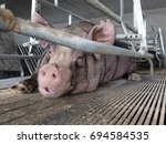 Pig Lying Down In The Pigsty