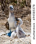Blue Footed Booby With Newborn...