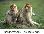 barbary macaque  macaca... | Shutterstock . vector #694589206