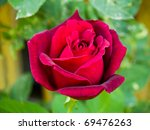 Longstemmed Red Rose On The...
