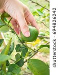 Small photo of Woman hand picking lime on lime tree. Agriculturist and harvest background. Tropical fruit. Food ingredient for sour taste.