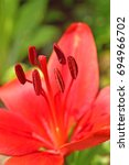Red Lily Stamen And Anthers...