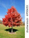 Vibrant Red Maple Tree In...