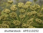 isolated close up view conium...   Shutterstock . vector #695113252