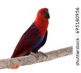 beautiful red parrot  eclectus... | Shutterstock . vector #695180956