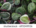 calathea | Shutterstock . vector #695249926