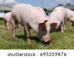 Lovely Little Pigs Graze On...
