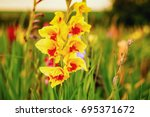 Gladiolus On The Wide Flower...
