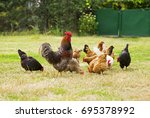 rooster and chickens grazing on ... | Shutterstock . vector #695378992
