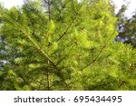 spruce branches   Shutterstock . vector #695434495