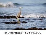 White-faced Heron standing on rocky shore on the Australian coast