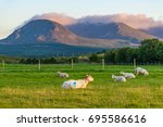 sheep relaxing in the evening... | Shutterstock . vector #695586616