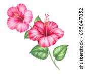hibiscus flower isolated on a... | Shutterstock . vector #695647852
