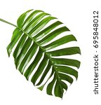 monstera deliciosa leaf or... | Shutterstock . vector #695848012