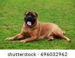 The Dog Breed Bullmastiff On A...