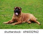 the dog breed bullmastiff on a... | Shutterstock . vector #696032962