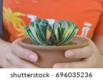 Small photo of Harworthia truncate, Many years old herb The short trunk is a bush, spread out on a single plane. Spoon leaves Out of single planes
