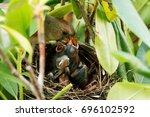 Mother Cardinal Bird Is Feeding ...