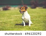 jack russell terrier toned photo | Shutterstock . vector #696120292