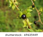 Small photo of the image shows a branch of belladonna atropa